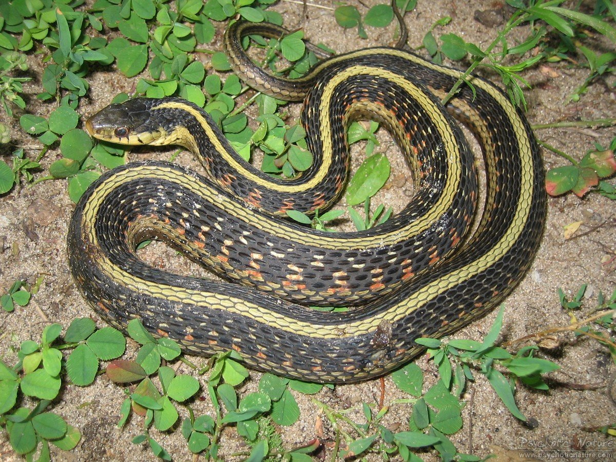 Common Garter Snake (Thamnophis sirtalis) - Minnesota ...