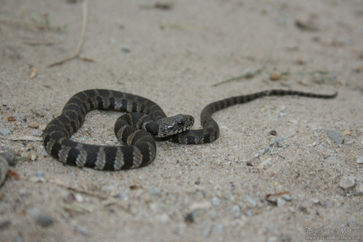 Northern Water Snake (Nerodia sipedon) - Minnesota ...