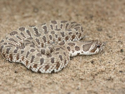 Plains Hognose Snake (Heterodon nasicus)