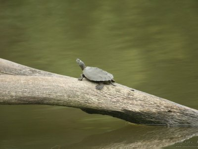 False Map Turtle (Graptemys pseudogeographica)
